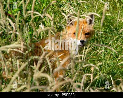 Fox in undergrowth - Stock Photo