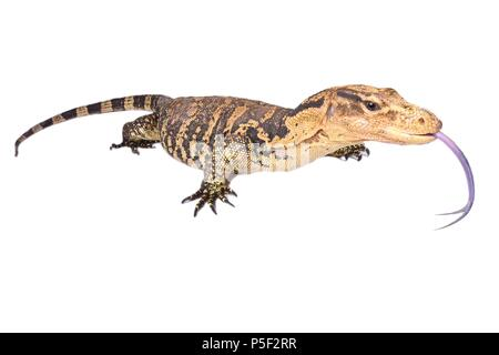 The Philippine water monitor (Varanus cumingi) is found in the southern Philippines, where it is distributed on Mindanao and a few small nearby island - Stock Photo