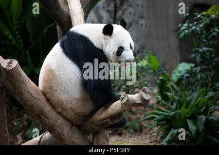 Portrait of an endangered black and white panda bear sitting on a tree branch. Singapore. - Stock Photo