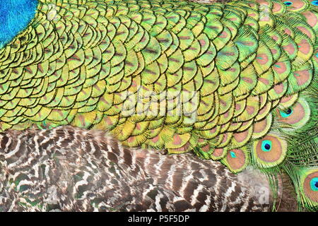 Abstract male peacock tail feather design - Stock Photo