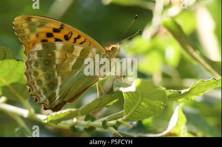 A beautiful  Silver-washed Fritillary Butterfly (Argynnis paphia) perching on a leaf in woodland. - Stock Photo