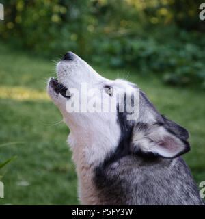 Siberian Husky dog howling on a grassy background - Stock Photo