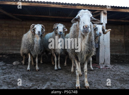 Four Male Rare rescued male mountain sheep ( Provato ) in their pen, Probably the Oldest Living, Saronida, East Attica, Greece. - Stock Photo