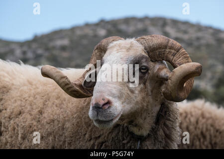 Rare Rescued Male Mountain Sheep ( Provato ), Horns, Probably the Oldest Living, Close up Profile, Saronida, East Attica, Greece. - Stock Photo