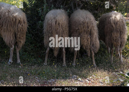 Four Rare Male Mountain Sheep Eating Olive Leaves From Behind, Saronida, Greece. - Stock Photo