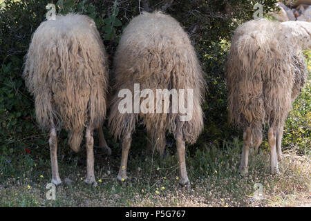 Three Male Mountain Sheep Eating Olive Leaves From Behind, Saronida, Greece. - Stock Photo