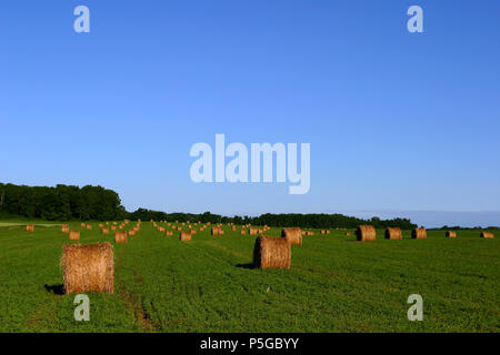 Round Alfalfa Hay Bales in a Field - Stock Photo