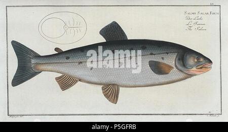 N/A. Sample engraving of an Atlantic salmon (Salmo salar, Linnaeus, 1758) from Oeconomische Naturgeschichte der Fische Deutschlands, published 1782–1785 . 1782. Marcus Elieser Bloch 210 Bloch fish engraving Salmo salar - Stock Photo