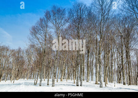 White Birch forest. Hakuba ridge in spring. It is famous of the venue for The Nagano Winter Olympics. - Stock Photo
