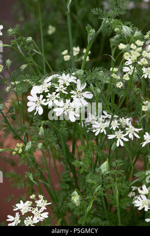 Orlaya grandiflora. White laceflower - Stock Photo