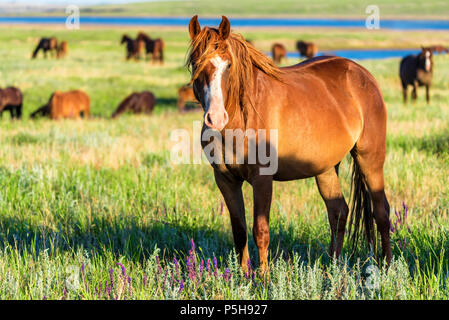 Wild horses grazing on summer meadow - Stock Photo