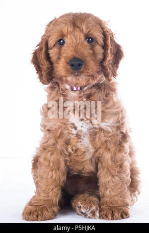 portrait of cute cockerpoo on white background - Stock Photo