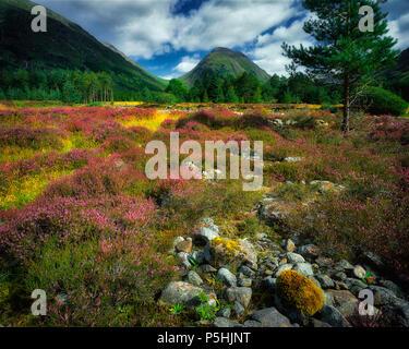 GB - SCOTLAND: Heathers in Glen Etive, Argyllshire - Stock Photo