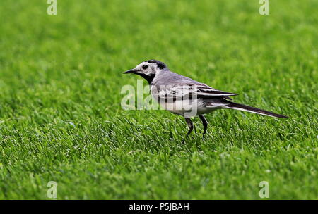 Kazan, Russia. 27th June, 2018.  A bird on the pitch during a 2018 FIFA World Cup Group F match between South Korea and Germany at Kazan Arena Stadium. Sergei Savostyanov/TASS Credit: ITAR-TASS News Agency/Alamy Live News - Stock Photo