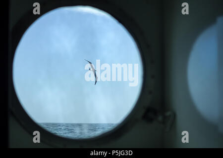 Black-browed Albatross in flight over the ocean seen though a ship's porthole - Stock Photo