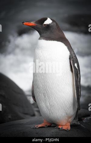 Gentoo Penguin - Stock Photo