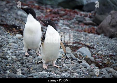 Pair of Adelie Penguins looking left - Stock Photo