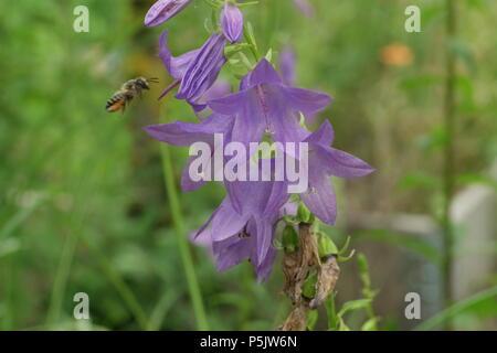 Campanula rapunculoides (Glockenblume, Bellflower) & Apis mellifera (Honigbiene, Honey Bee) - Stock Photo