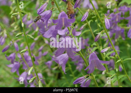 Campanula rapunculoides (Glockenblume, Bellflower) & Apis mellifera (Honigbiene, Honey Bee) - Stock Photo