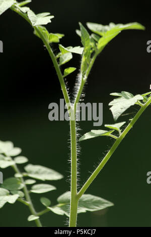 Close up of tomato plant's hairy stem and leaves - Stock Photo
