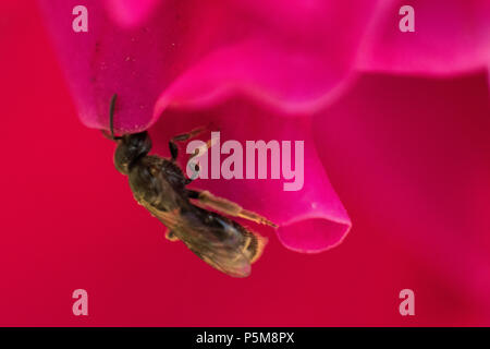 Small bee on a red flower close up - Stock Photo