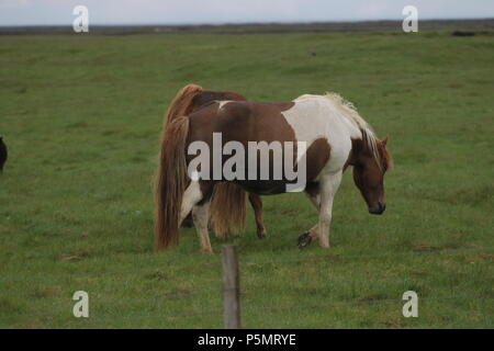 Iceland - Icelandic Horses - Stock Photo