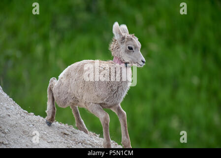 Mountain Goats at Badlands National Park - Stock Photo