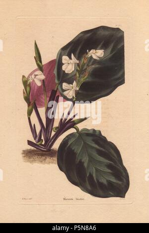 Maranta bicolor. Prayer plant or arrowroot with white flowers. Drawn by T. Boys, engraved by George Cooke.. A native of Brazil, this plant was introduced by the Comtesse de Vandes, and first cultivated in England at Bayswater hothouse. Named for Bartolomea Maranti, a 16th century Venetian physician and botanist.. Conrad Loddiges and Sons published an illustrated catalogue of the nursery's plants entitled the Botanical Cabinet. The monthly magazine featured 10 hand-coloured illustrations and ran from 1817 to 1833 to total 2,000 plates. The publication introduced many exquisite camellias from Ch - Stock Photo