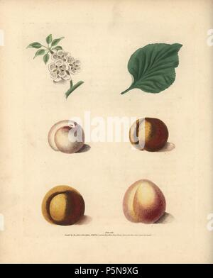 Apricot varieties, Prunus armeniaca: blossom, leaf, White Masculine, Red Masculine, Orange Apricot and Turkey Apricot. Handcoloured stipple engraving of an illustration by George Brookshaw from his own 'Pomona Britannica,' London, Longman, Hurst, etc., 1817. The quarto edition of the original folio edition published from 1804-1812. Brookshaw (1751-1823) was a successful cabinet maker who disappeared in the 1790s before returning as a flower painter with the anonymous 'New Treatise on Flower Painting,' 1797. - Stock Photo