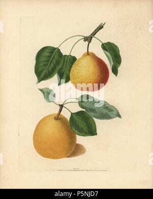 Pear varieties, Pyrus communis: Orange Bergamot and Bergamot de Chantilly. Handcoloured stipple engraving of an illustration by George Brookshaw from his own 'Pomona Britannica,' London, Longman, Hurst, etc., 1817. The quarto edition of the original folio edition published from 1804-1812. Brookshaw (1751-1823) was a successful cabinet maker who disappeared in the 1790s before returning as a flower painter with the anonymous 'New Treatise on Flower Painting,' 1797. - Stock Photo