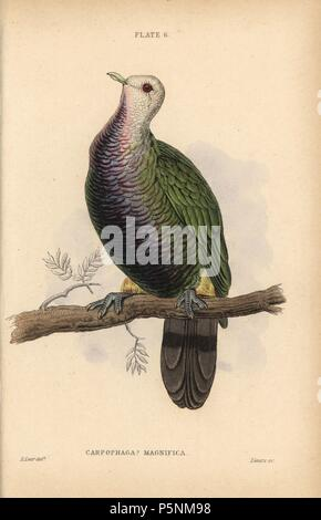 Wompoo fruit dove, Ptilinopus magnificus, native to Australia. Handcoloured steel engraving by William Lizars after an illustration by Edward Lear from Prideaux John Selby's volume 'Pigeons' in Sir William Jardine's 'Naturalist's Library: Ornithology,' published by W.H. Lizars, Edinburgh, 1835. Artist Edward Lear (1812-1888), today most famous for his literary nonsense and limericks, was a skilled ornithological artist who published 'Illustrations of the Family of Psittacidae or Parrots' in 1832. - Stock Photo