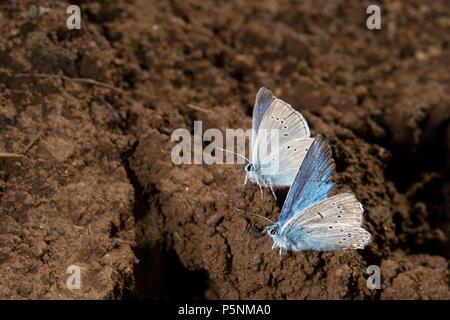 Holly blue butterfly, Celastrina argiolus,  Lycaenidae, Rascino Plateau, Rieti, Lazio, Italy, Europe - Stock Photo