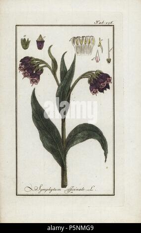 Comfrey, Symphytum officinale, native to Europe. Handcoloured copperplate botanical engraving from Johannes Zorn's 'Afbeelding der Artseny-Gewassen,' Jan Christiaan Sepp, Amsterdam, 1796. Zorn first published his illustrated medical botany in Nurnberg in 1780 with 500 plates, and a Dutch edition followed in 1796 published by J.C. Sepp with an additional 100 plates. Zorn (1739-1799) was a German pharmacist and botanist who collected medical plants from all over Europe for his 'Icones plantarum medicinalium' for apothecaries and doctors. - Stock Photo