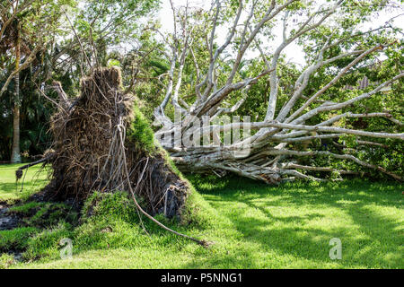 Naples Florida Crayton Road Hurricane Irma wind storm damage destruction aftermath fallen toppled over large tree root system lawn - Stock Photo