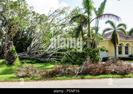 Naples Florida Crayton Road house home Hurricane Irma wind storm damage destruction aftermath fallen toppled over large tree root system lawn - Stock Photo