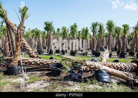 Immokalee Florida after Hurricane Irma storm nursery damage destruction aftermath fallen palm trees - Stock Photo
