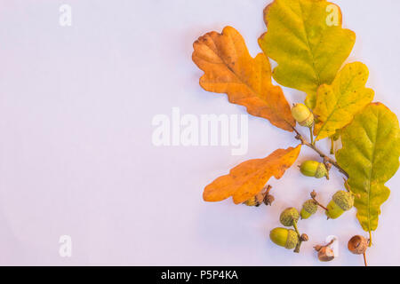 Oak branches with leaves and acorns on white background. Flat lay, top view.autumn oak twig and acorns isolated. Autumn postcard with copy space. Flora details concept. - Stock Photo