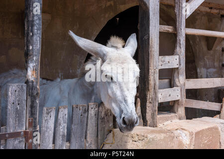 Donkey in stables in the Judean replica village of Bethlehem, Ghajnsielem, Gozo, Malta, which holds a nativity festival every December. - Stock Photo