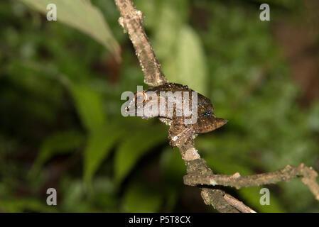 Madagascan tree frog, Ranomafana National Park