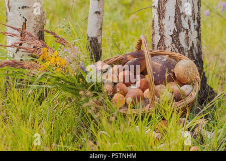 Wicker basket with white and other mushrooms on the forest background in the green grass near the trunks of white birches - Stock Photo