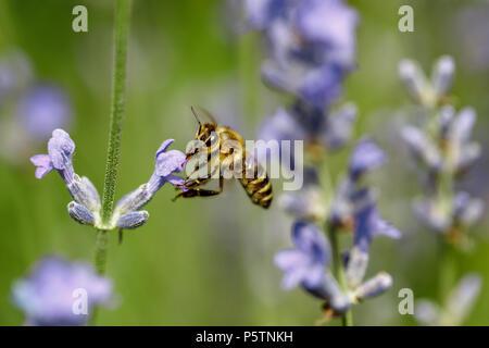honey bee sitting on flower - Stock Photo
