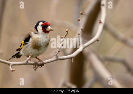 Carduelis carduelis, European Goldfinch, perching on a branch - Stock Photo