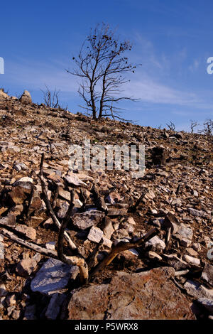 Mountain Fire damage, Pine Trees and Wild Flora burnt where before they were Green and in abundance, Saronida, Greece. - Stock Photo