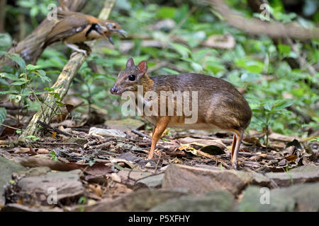 A timid Lesser Mouse Deer (Tragulus kanchil) on the forest floor in Kaeng Krachan in Western Thailand - Stock Photo