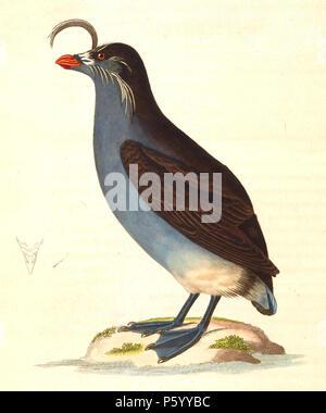 N/A.  English: «Phaleris cristatella» = Aethia cristatella (Crested Auklet) - adult - COMMENT: Going by the positioning of the white ornamentary feathers, this illustration is certainly depicted or redrawn from a Whiskered Auklet (Aethia pygmaea) or its skin (likely a skin). Français: «Phaleris cristatella» = Aethia cristatella (Starique cristatelle) - adulte - COMMENTAIRE: Étant donnée la position des plumes ornementales blanches, cette illustration à surement été réalisée depuis une Starique pygmée (Aethia pygmaea) ou d'une peau de cette oiseau (probablement une peau). . 1838.   Nicolas - Stock Photo