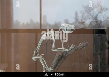 A dinosaur fossil reflected in a window at the American Museum of Natural History with the New York City skyline in the background - Stock Photo