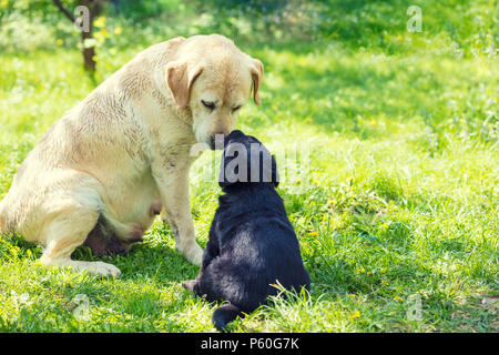 Two Labrador retriever dogs sitting on the grass in the garden in summer. Mother dog and little puppy sniff to each other - Stock Photo