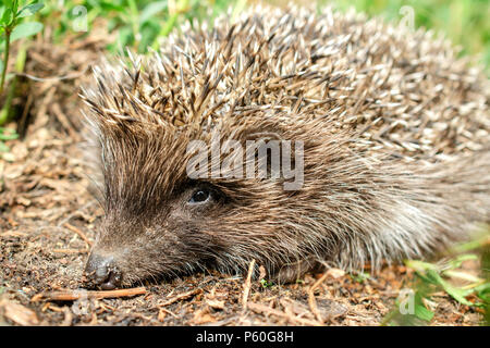 Little cute young hedgehog (Erinaceus Europaeus) in natural conditions. In the grass outdoors. Portrait. Close-up. - Stock Photo