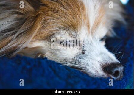 Macro shot of an old papillon dog, resting. - Stock Photo