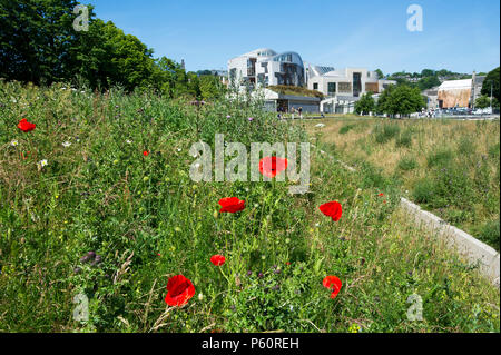 Common poppies / red poppy (Papaver rhoeas) and wild flowers in front of the Scottish Parliament Holyrood, Edinburgh. - Stock Photo